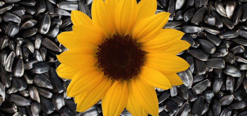 Ways to Eat Sunflower Seeds, their Benefits and Risks. Packed Sunflower Seeds, Made in Moldova